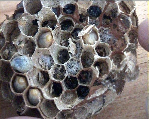 brutr uber der hornissen die hummelnestmotte aphomia sociella. Black Bedroom Furniture Sets. Home Design Ideas