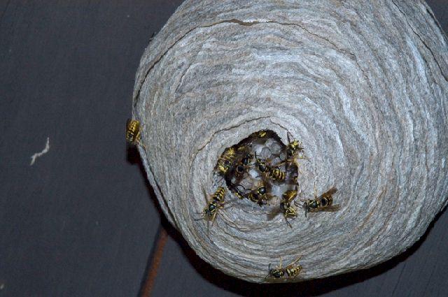 Hive Vs Nest >> Yellowjackets, Yellow Jackets