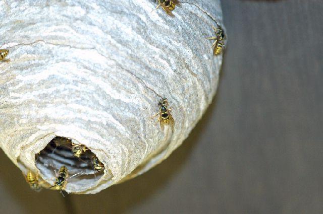 paper wasp vs yellow jacket
