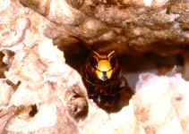 "Guard of the nest input of a ""hornet castle"""