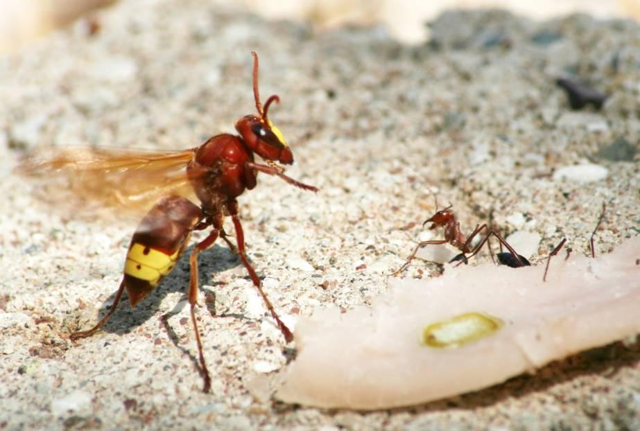 Vespa orientalis, Oriental Hornet