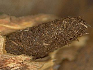 Hornissen Glasfl Gler Aegeria Apiformis Clerck 1759